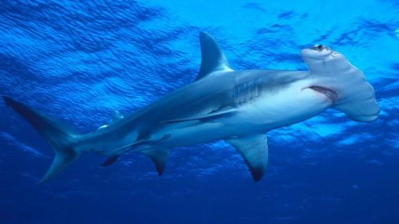 MURyCÍA. Tiburones martillo, en el Acuario de la Universidad de Murcia