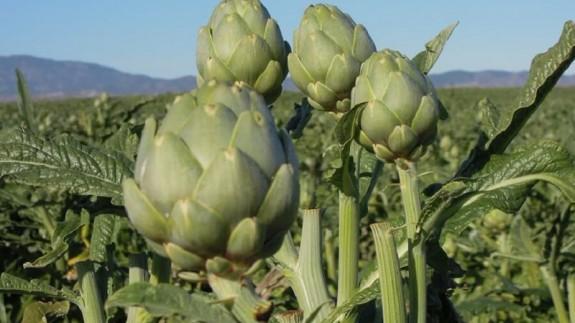 Cultivo de alcachofa.
