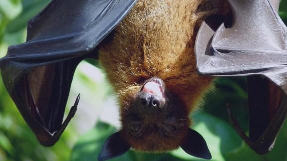 NO ES UN VERANO MÁS. El corovanirus lleva entre 40 y 70 años entre los murciélagos
