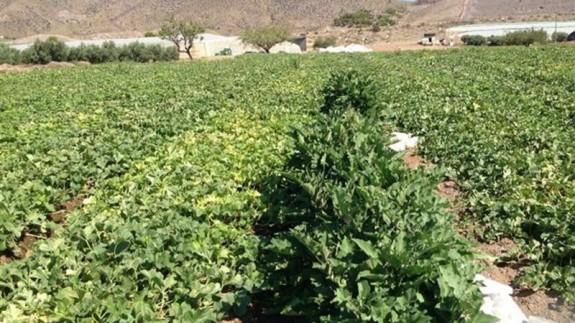 Cultivos de melones