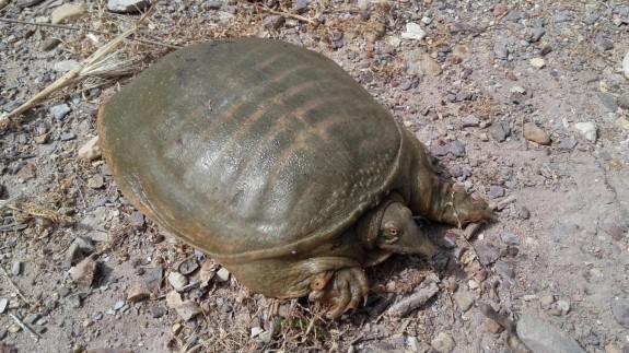 Tortuga de caparazón blando Pelosiscus sinensis, capturada en un azarbe de la Vega Baja del Segura (Fuente: David Verdiell)