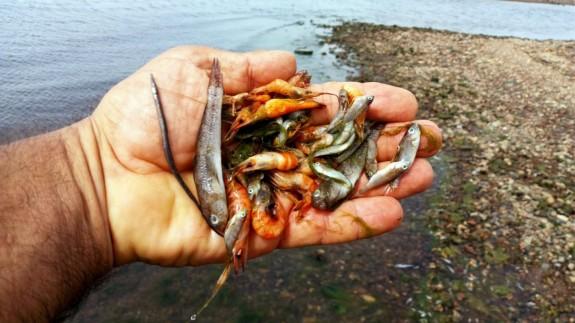 El Comité Científico del Mar Menor descarta la anoxia porque sólo ha afectado a peces pequeños