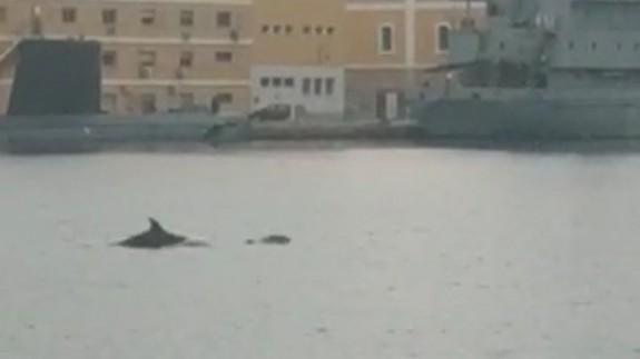 Los delfines cerca de la dársena militar de Cartagena