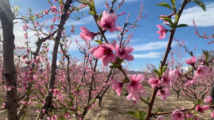 EL MIRADOR. La floración de Cieza se podrá ver en el paseo de Alfonso X en Murcia