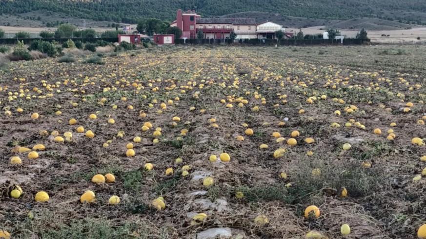 Melones abandonados en un paraje de yecla