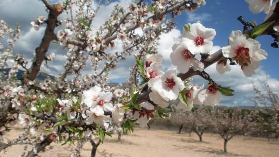 Almendros en flor. LAREFERENCIA.NET