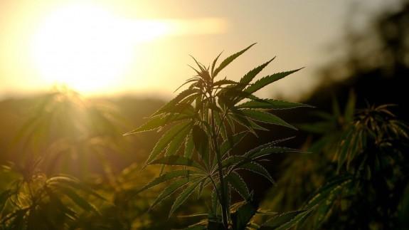 Plantas de cannabis
