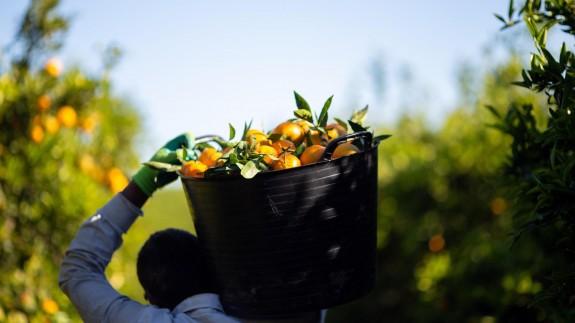 Cultivos de mandarina