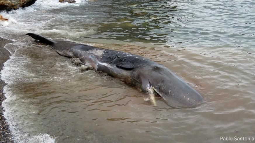 Cachalote muerto en Cabo de Palos