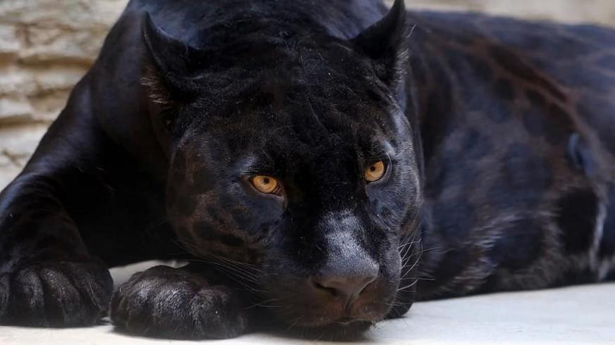PLAZA PÚBLICA. El pueblo Ventas de Huelma de Granada busca una pantera negra que anda suelta por las calles