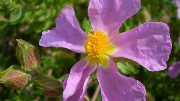 VIVA LA RADIO. Martes verde. Recuperando especies en extinción: jara de Cartagena