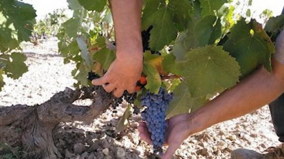 Los viticultores ya se pueden acoger a las ayudas extraordinarias para afrontar la crisis causada por la Covid-19